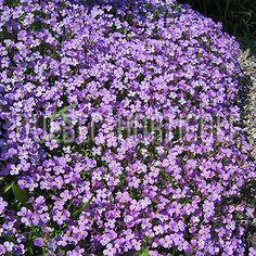 image de Aubrieta x cultorum Photos, Unique, Plants, Image, Gardening, Gardens, Sun, Cascading Flowers, Flower Colors