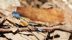 Blue-eyed Darner by Saikanth Dacha on 500px