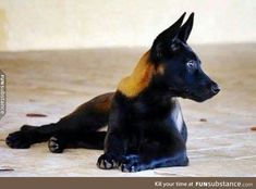 A sable coloured Belgian Malinois. - FunSubstance - A sable coloured Belgian Malinois. Rottweiler, Belgian Shepherd, German Shepherd Dogs, Big Black Dog Breeds, Black Dogs, Big Dogs, Dogs And Puppies, Doggies, Canis Lupus