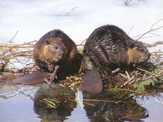 Vintage photo of a pair of beavers, in the Adirondacks.beaver fur was the most prized of the fur trade because of its water repellant qualities. Encouraged by European trade goods, natives hunted beaver to extinction in some areas. Busy Beaver, Beaver Dam, Castor Animal, Beaver Trapping, Beaver Animal, Animals Beautiful, Cute Animals, Capybara, Fur Trade