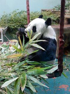 Inspiration began at Edinburgh zoo when I was lucky enough to see both pandas up close! Study Photos, Good Job, Panda Bear, Edinburgh, Knowing You, Print Design, Draw, Cute, Animals