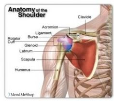 The rotator cuff consists of 4 small muscles situated close to the ball and socket joint of your shoulder (Glenohumeral joint). These muscles are connected individually to a group of flat tendons, which combine together and surround the front, back,. Rotator Cuff Tear Treatment, Shoulder Problem, Referred Pain, Shoulder Joint, Shoulder Injuries, Medical Anatomy, Back Pain Relief, Manga, Exercises
