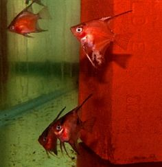 $28... 75 % - 95% Solid Red Select Angelfish (Quarter Body Sized)
