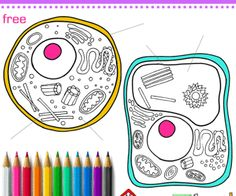 plant cell diagram | science | pinterest | plant cell, plants and ... - Animal Cell Coloring Page Answers