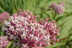 Asclepias incarnata (Swamp Milkweed). Host for Monarchs, Unexpected Cycnias, Milkweed Tussocks, etc.