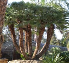 Absolutely perfect specimen European Fan Palm Tree! This European Fan Palm Tree is at least 30 to 40 years old and has been grown in a perfect arid environment found similarly in the Mediterranean region of Europe!