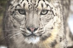 Snowy close up by Allerlei on DeviantArt Social Community, Worlds Largest, Panther, Close Up, Deviantart, Artist, Animals, Animales, Animaux