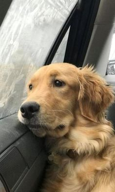 Golden Retriever riding in the car