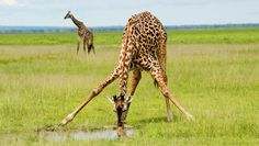 Giraffes have to spread out their front legs to get low enough to drink.