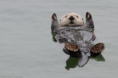 Sea Otter Raft - Michael Yang Photography