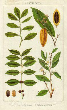 botanical illustration of cacao Botanical Drawings, Botanical Prints, Cocoa Plant, Coffee Plant, Nature Plants, Plant Illustration, Fauna, Antique Books, Planting Flowers