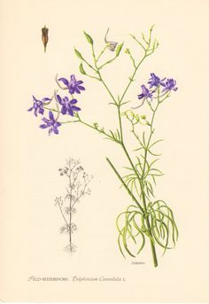 1955 Forking Larkspur, Antique Print, Vintage Lithograph, Delphinium consolida, Consolida regalis, Rocket-larkspur, Ranunculaceae, Botany on Etsy, $18.11