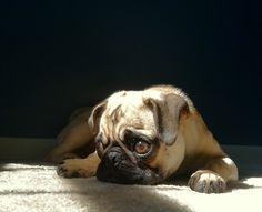 Friends of squishfacedogs: Napoleon Hi everyone!...