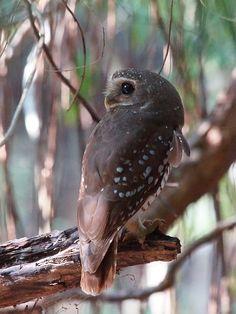 White Browed Owl Source: Flickr / kookr