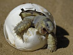 Baby turtle fighting hard for his freedom!  Oh poor thing...your journey has just begun.