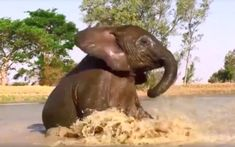 Baby Elephant Has Fun Splashing In Puddles