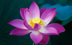 lotus flower photography - Google Search