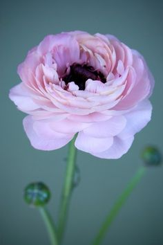 RANUNCULUS IV – Image by renowned contemporary photographer Nic Miller, exclusively reproduced by surfaceview.co.uk