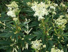 Лабазник вязолистный, таволга - лекарственное растение