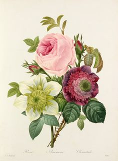 'Rose, Anemone, Clematide', Redouté, Pierre Joseph (1759-1840) (Artist)