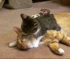 GTA 5 – Thug Lifes 2019 – Gta 5 New 23 Thug Life Compilation of 2019 - Funny gifs Cute Little Kittens, Kittens Cutest, Cats And Kittens, Funny Cute Cats, Cute Cat Gif, Baby Animals, Funny Animals, Cute Animals, Hugs And Cuddles