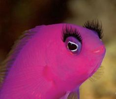 The Print Ad titled PINK FISH was done by Grey Mexico advertising agency for product: Covergirl Waterproof Mascara (brand: Cover Girl) in Mexico. Pretty Fish, Beautiful Fish, Pink Love, Pretty In Pink, Pretty Girls, Hot Pink, Pet O, Underwater Animals, Pink Fish