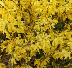 Forsythia Gold Tide™ | Star® Roses and Plants