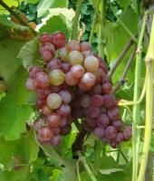 """Somerset Seedless Grape from Stark Bro's:  zone 4 - 8, """"A unique, strawberry-like flavor. This heavy bearer will give you compact clusters of medium-sized table grapes that are good for fresh eating and making jelly. The fruit starts out pink, but becomes much sweeter and more flavorful after ripening on the vine until turning a full red color. Moderately vigorous, mostly disease-resistant and very cold-hardy — in temperatures as low as -30°F. Ripens in August. Self-pollinating."""""""