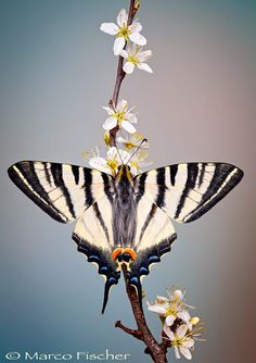 Swallowtail Butterfly by Marco Fischer