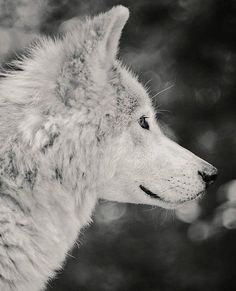 "2,074 curtidas, 3 comentários - By Wolves (@by_wolves) no Instagram: ""Who loves B&W pictures and wolves? This pic is for you! Made by @ironwoodwolves ! You like it?  .…"""