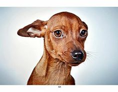 New York, NY - Manchester Terrier/Chihuahua Mix. Meet Ava a Puppy for Adoption. Chihuahua Terrier Mix, Manchester Terrier, Love Bugs, Dog Photography, Long Legs, Humane Society, Dog Love, Pet Adoption, Ava