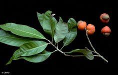 Semecarpus australiensis  leaves and fruit