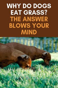 Why Do Dogs Eat Grass? The Answer Blows Your Mind!-Why Do Dogs Eat Grass? The Answer Blows Your Mind! Why do dogs eat grass? The answer will blow your mind! Puppy Toilet Training, Puppy Training Classes, Puppy Obedience Training, Dog Training Tips, Crate Training, Dogs Eating Grass, Dog Eating, Dog Health Tips, Cat Health