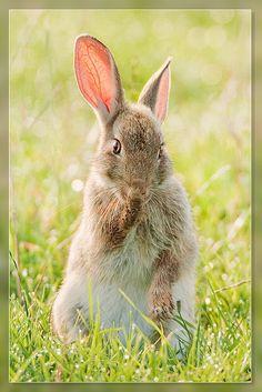Rabbit by Hennie van Heerden Funny Bunnies, Baby Bunnies, Cute Bunny, Bunny Rabbits, Easter Bunny, Beautiful Creatures, Animals Beautiful, Cute Animals, Beautiful Rabbit