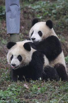 pandas #27