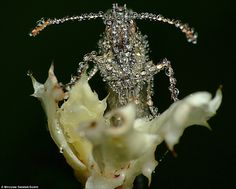 Would dew believe it: The stunning pictures of sleeping insects covered in water droplets