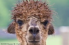 This alpaca likes hair gel.