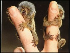 world's smallest monkey | Pygmy Marmoset: Cutest Animal Ever?