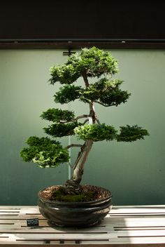 Bonsai Cypress.