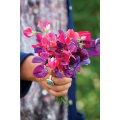 Harlequin Sweet Pea Mix from Sarah Raven: Our exclusive collection of brightly coloured sweet pea plants. Planted side of the house at old rose trellis - 2/19/15