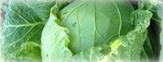 Growing Cabbage, garden.usu.edu, Utah State University Extension
