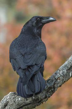 Raven Corvus corax by Fernando Sanchez de Castro on The Crow, The Raven, Raven Bird, Crow Bird, Corvo Tattoo, Choucas Des Tours, Crow Pictures, Crow Photos, Fernando Sanchez