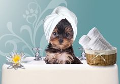 toilettage-yorkshire-terrier                                                                                                                                                                                 Plus