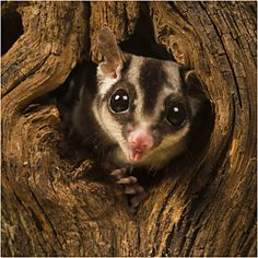 "/ Photo ""Sugar Glider"" by Lillian King Cute Creatures, Beautiful Creatures, Animals Beautiful, Australian Possum, Critters 3, Sugar Bears, Flying Squirrel, My Little Baby, Cute Baby Animals"