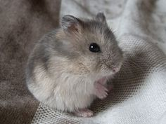All about the Syrian hamster (a.k.a golden / teddy bear hamster), how to take care of them, plus lots of photos, tips and tricks.