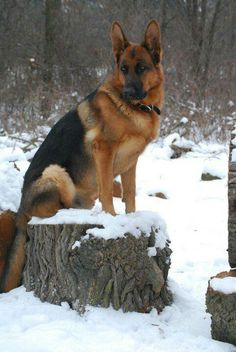 GSD standing beautifully in the snow.
