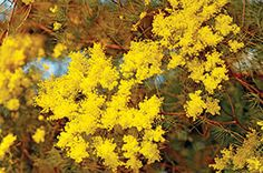 Acacia boormanii - Snowy River wattle  Fragrant yellow flowers add color to the winter garden; very adaptable and hardy, grows best in well-drained soils; heat and drought tolerant.