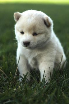 Baby Shiba Inu -- I don't think I could ever own a completely cream colored dog cause seeing it have dirt on it would drive me crazy.... BUT IT'S SO CUTE!!