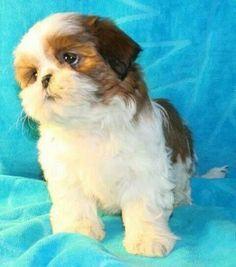 Shih Tzu puppy.