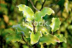 Kohuhu ( Pittosporum tenuifolium) is an easy-care, elegant shrub with fine texture. Once it is established in your landscape it is waterwise and low care - r Water Wise, Evergreen Trees, Close Up Photos, Garden Supplies, Image Now, Landscape Design, Outdoor Living, Royalty Free Stock Photos, Flowers